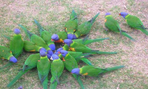 Zdjecie AUSTRALIA / Narooma, NSW / w parku / Rainbow Lorikeete--papuzki