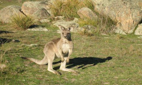 Zdjęcie AUSTRALIA / Okolice Canberry / Namadgi national Park / Kangur w buszu
