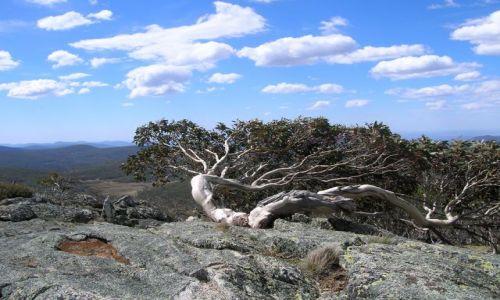 Zdjęcie AUSTRALIA / ACT / Mt. Gingera, Namadgi National Park / kosodrzewina w parku australijskim