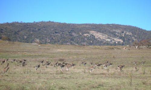 Zdjecie AUSTRALIA / Okolice Canberry / Yankee Hut, skaly z aborygenskimi malunkami w poblizu / I jeszcze kangurki