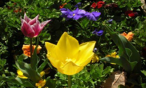 Zdjecie AUSTRALIA / ACT--Australian capital territory / Park w centrum Canberry / Swieto kwiatow Floriada w Canberze