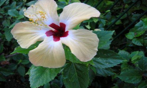 Zdjecie AUSTRALIA / Queensland / Gold Coast--Coolangata / Kwiat w tropiku