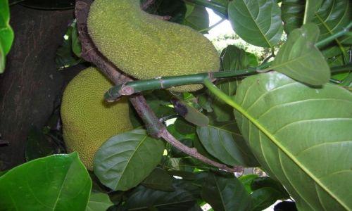 Zdjęcie AUSTRALIA / Qld,  / Gold Coast / Jack fruit, tropikalny owoc