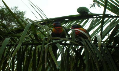 Zdjęcie AUSTRALIA / Qld,  / Gold Coast / papuzki czekaja na jedzenie