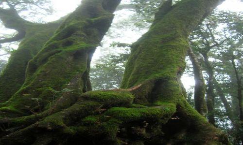 Zdjęcie AUSTRALIA / Qld / okolice Gold Coast / Bardzo stare drzewa w tropiku