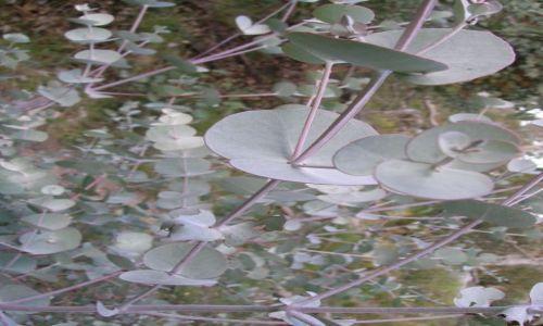 Zdjecie AUSTRALIA / Okolice Canberry / Namagdi national park / Srebrno- zielone liscie  drzewa eukaliptusa