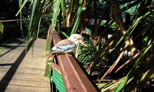Zdjęcie AUSTRALIA / Cairns / w parku / Kingfisher--z polnocy, Kookaburra
