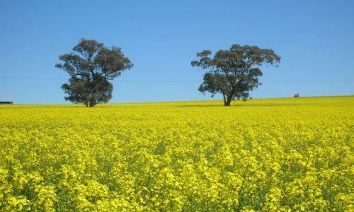 AUSTRALIA / Kowra, NSW / 300 km w glab ladu od stolicy / Wszedzie zolto --rape