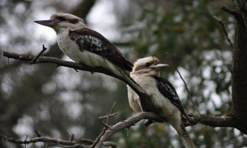 Zdjecie AUSTRALIA / Orange, NSW / w buszu / Kookaburra australijska--z rodziny kingfisher, z poludnia Australii