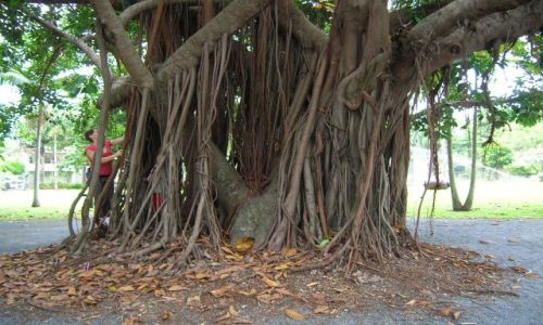 Zdjęcie AUSTRALIA / Queensland / Port Douglas / Korzenie i kora
