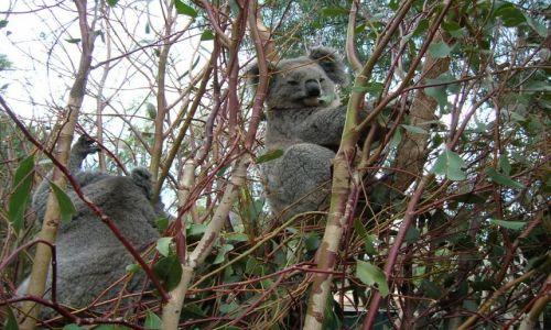 Zdjecie AUSTRALIA / Ganadah--w glebi ladu, NSW / Ganadah / Misie koala