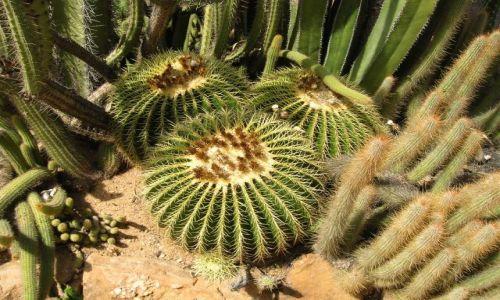 Zdjecie AUSTRALIA / NSW, interia / w drodze / Klujace kaktusy