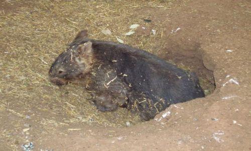 AUSTRALIA / NSW / Ganadah / Wombat--podziemny niedzwiadek