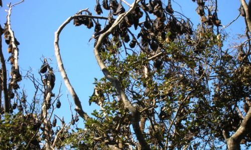 Zdjęcie AUSTRALIA / NSW / Port Macquarie / Flying-foxes, -duze nietoperze