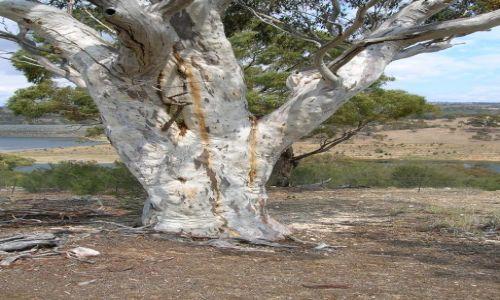 Zdjecie AUSTRALIA / NSW / Okolice Canberry / Biale drzewo