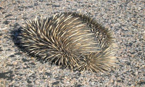 Zdjecie AUSTRALIA / W.A. / Kalbari / Echidna-znosi jajka, karmi mlekiem