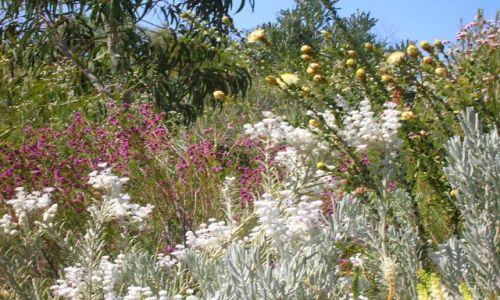 AUSTRALIA / W.A.--Western Australia / Okolice Kalbarii / Wild flowers w Zach. Australii