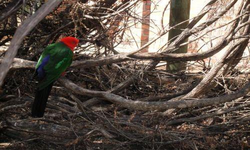 AUSTRALIA / Zach. Australia / Kalbarii / King parrot