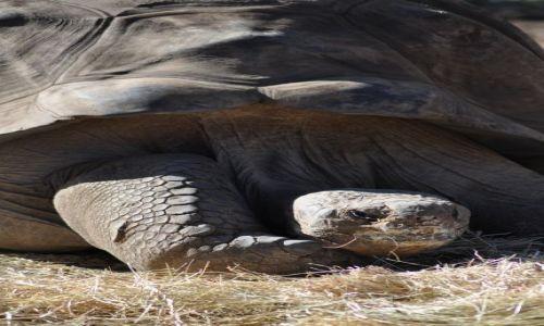 Zdjęcie AUSTRALIA / NSW / Dubbo Zoo / Zolw z wysp galapagos