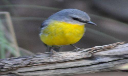 Zdjecie AUSTRALIA / Wsch. Australia / Orange, 300 km od Canberry / Yellow Robin