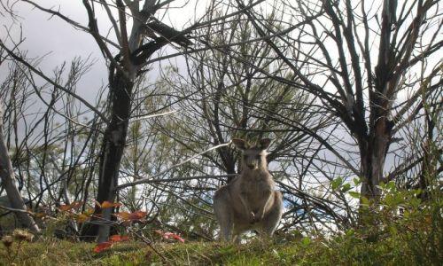 Zdjęcie AUSTRALIA / ACT / Okolice Canberry / Zamyslony kangur