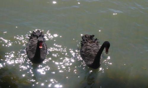 Zdjecie AUSTRALIA / ACT / Canberra -Lake Ginnindera / Czarne labedzie