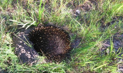 Zdjęcie AUSTRALIA / ACT / Canberra / Echidna -stara sie uciec, zakopujac sie