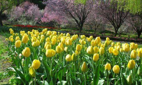 Zdjęcie AUSTRALIA / ACT / Canberra / Wiosna i tulipany