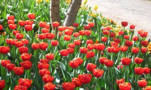 Zdjecie AUSTRALIA / ACT / Canberra / Wiosna i czerwien