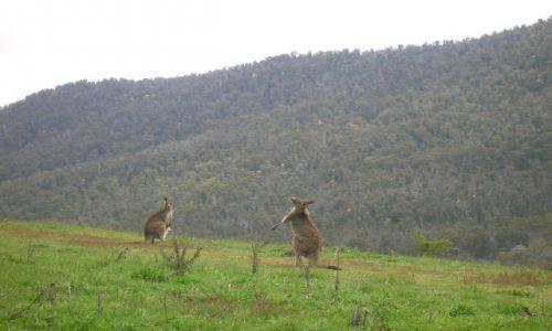Zdjecie AUSTRALIA / ACT / Namadgi Nat. Park / Kangury w buszu