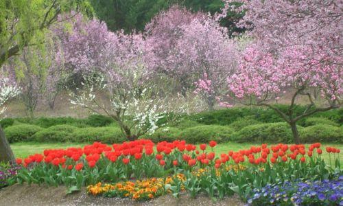 Zdjecie AUSTRALIA / NSW / Okolice Canberry / Wiosna i kwiaty