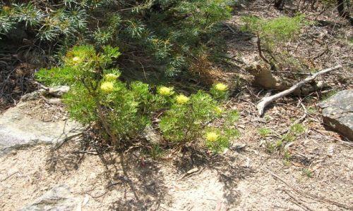 Zdjęcie AUSTRALIA / Blue Mountains / Kanangra Rocks / Zolte kwiaty w okolicach Niebieskich gor..