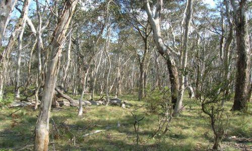 Zdjęcie AUSTRALIA / Blue Mountains / w drodze do Kanangra Wall / Eukaliptusowy las