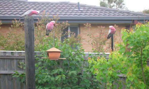 Zdjęcie AUSTRALIA / ACT / Canberra / Gallah, papugi