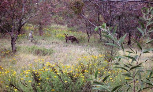 Zdjęcie AUSTRALIA / ACT / Okolice Canberry / Busz i kangury