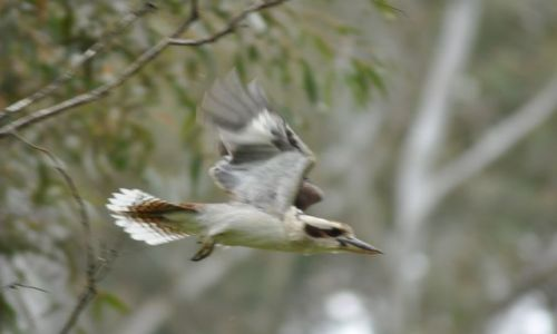 Zdjecie AUSTRALIA / NSW / Okolice miasta Orange / Kukuburra odlatuje