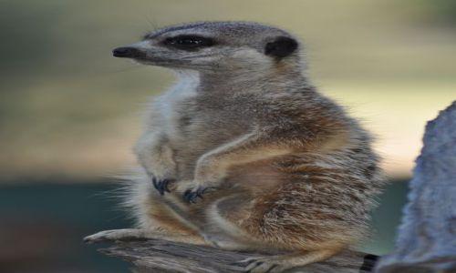 Zdjecie AUSTRALIA / NSW / Dubbo Zoo / Meerkat