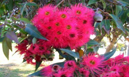 Zdjecie AUSTRALIA / Victoria / Marlo / Kwiaty eukaliptusa
