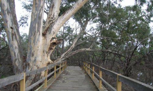 Zdjecie AUSTRALIA / Victoria / Echuca / Park eukaliptusow w Echuca