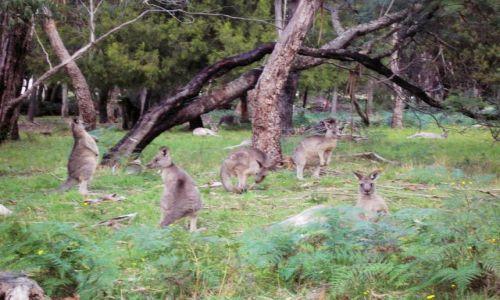 Zdjecie AUSTRALIA / Victoria / Grampians nat.park / Wsrod drzew..