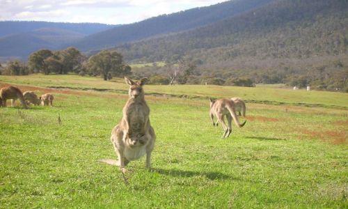 Zdjęcie AUSTRALIA / ACT / Okolice Canberry / Zyczenia swiateczne z kangurem..