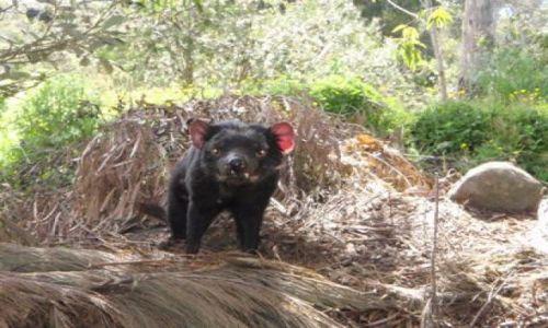 Zdjecie AUSTRALIA / Tasmania / Tasmania / diabeł tasmański