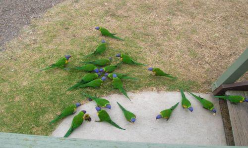 Zdjecie AUSTRALIA / NSW / nad oceanem wschodnim / Papugi-rainbow lorakitte