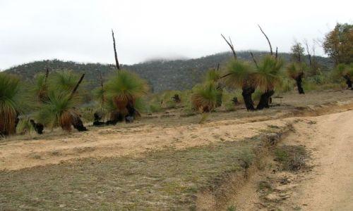 AUSTRALIA / ACT / Tidbinbilla mountains / Australian grass trees