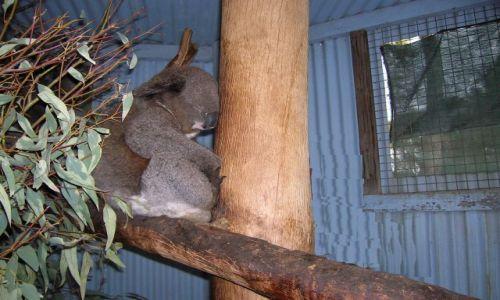 Zdjecie AUSTRALIA / NSW / interia.. / Stary niedzwiedz mocno spi..