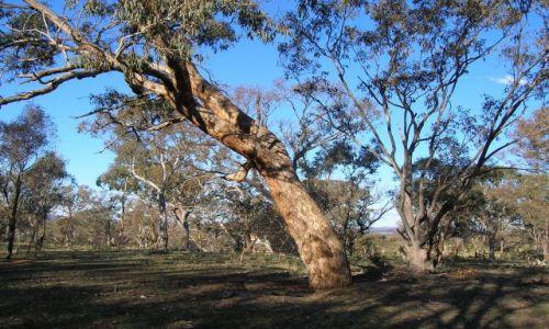 Zdjecie AUSTRALIA / ACT / Canberra / Eukaliptusowy las.