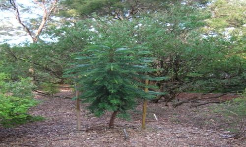 Zdjecie AUSTRALIA / ACT / Botanic garden / Woolemy pine
