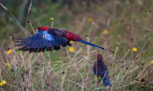 Zdjęcie AUSTRALIA / NSW / Blue Mountains / Rosella