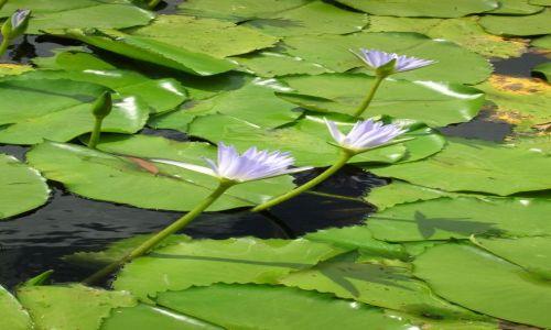 Zdjęcie AUSTRALIA / NSW / Okolice Newcastle / Piekno kwiatow na wodzie..