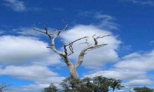 Zdjecie AUSTRALIA / NSW / interia, okolice Rylestone / Drzewo w chmurach